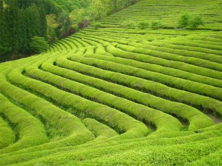 Boseong Green Tea Plantations
